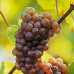 Pinot Gris Grand Cru