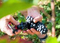 Pinot Noir traditie in de Elzas